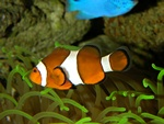 Almindelig Klovnfisk (Amphiprion ocellaris)